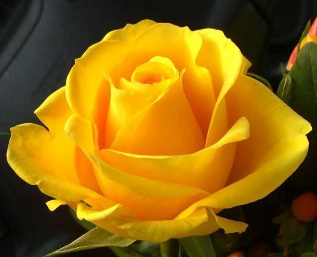 rosa bella gialla